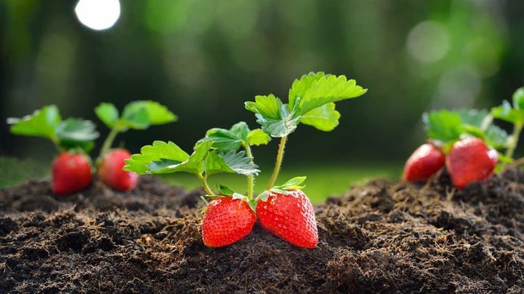 Allergie Erdbeeren - Erdbeeren mit Blättern auf dem Feld