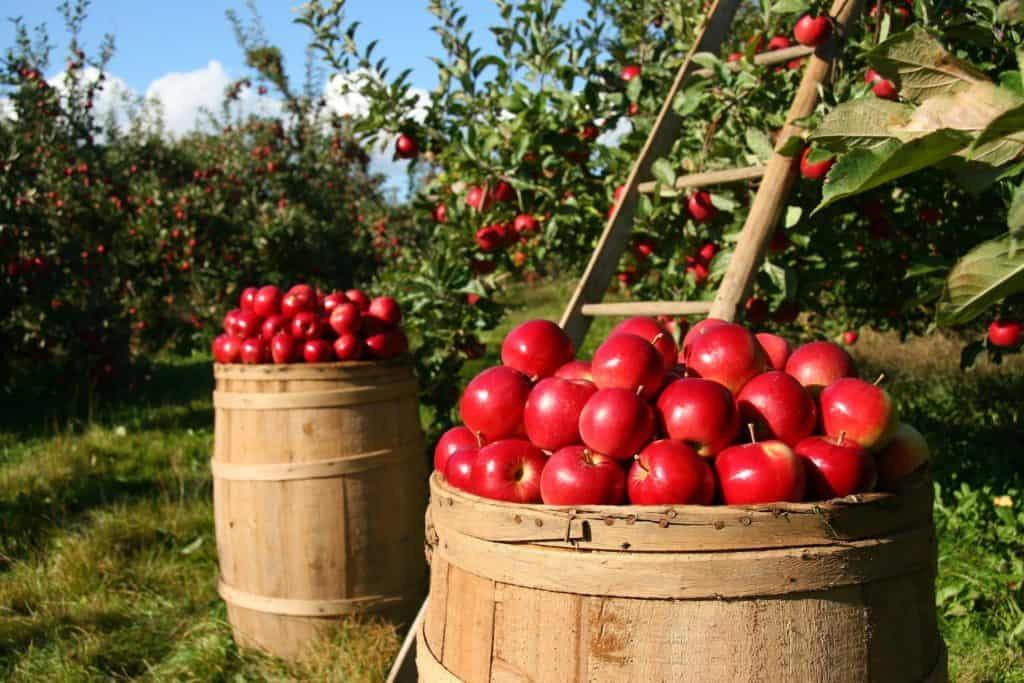 Unverträglichkeit Apfel