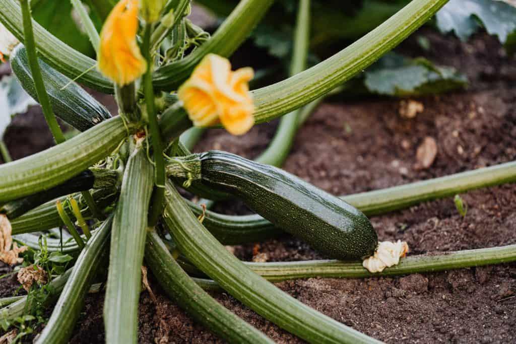 Zucchini-Unverträglicheit