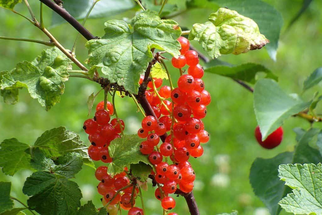 Weintraubenunverträglichkeit